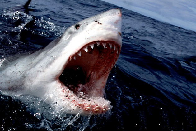 Great_White_Shark_1