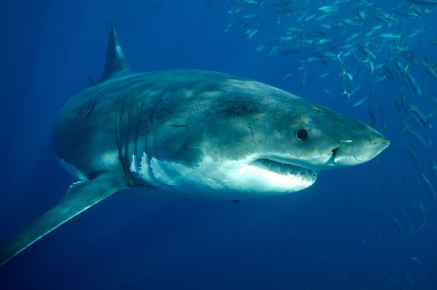 Great_White_Shark_2