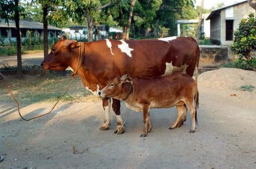 Smallest_Cattle_2