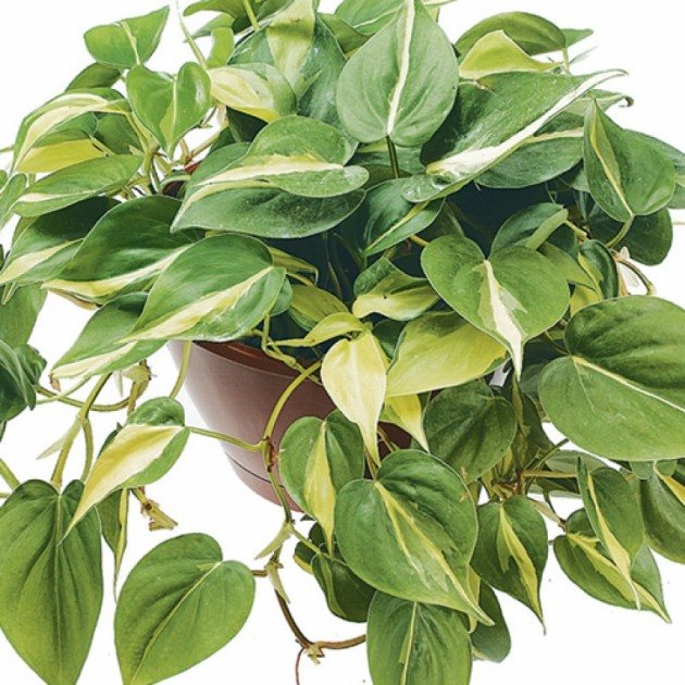 Philodendron_1