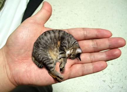 cat_mr_peebles_1 smallest cat in the world guinness 2015