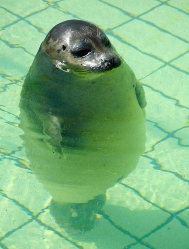 fat_fur_seal