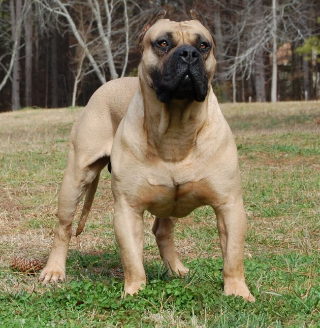 Born Fighters: the 25 Most Aggressive Dog Breeds - Herbeat
