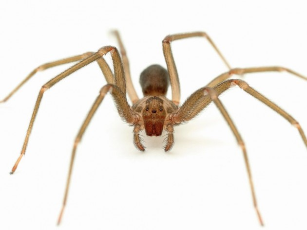 Brown_Recluse_Spider_2