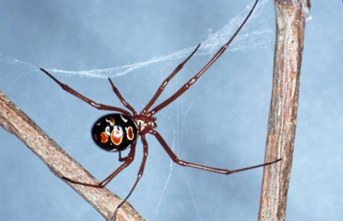 Red-Legged_Widow_Spider_1