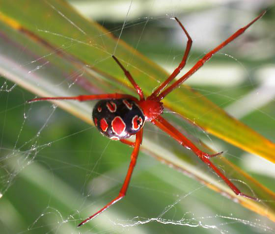 Red-Legged_Widow_Spider_2