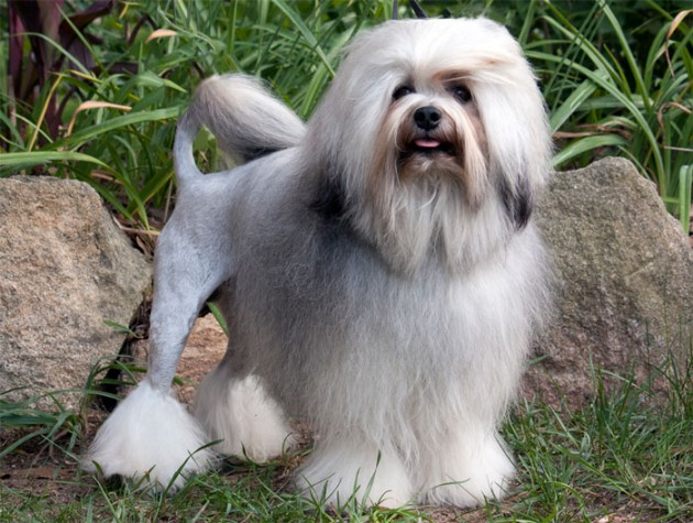 dog_breed_Lowchen_2