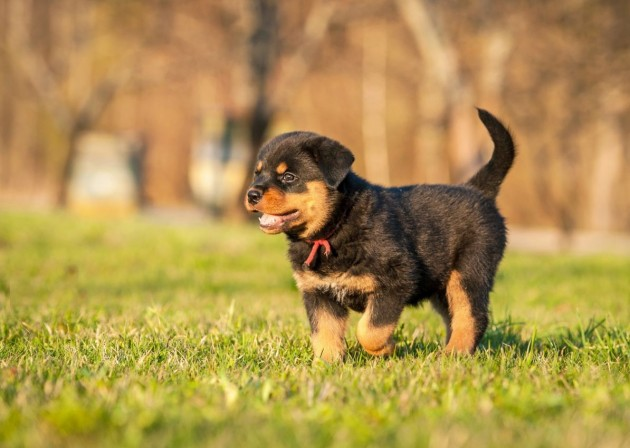 dog_breed_Rottweiler_3