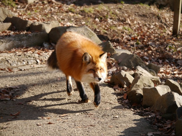 Foxes_in_Japan_1