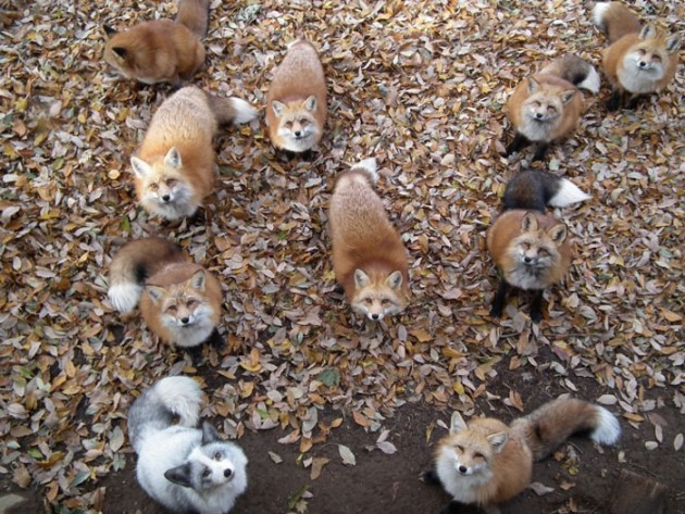 Foxes_in_Japan_3
