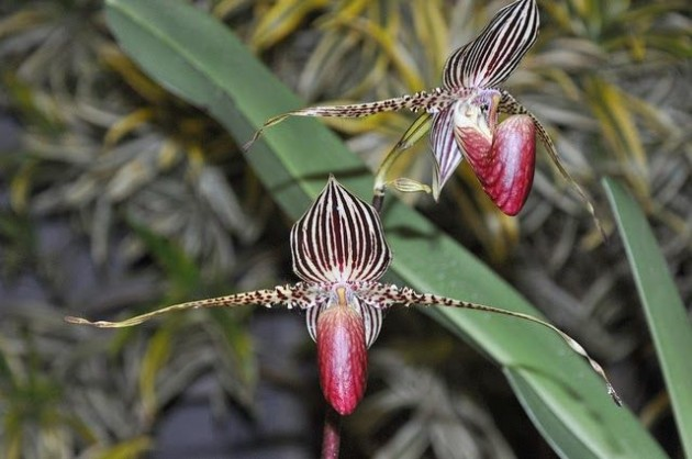 Gold_of_Kinabalu_Orchid_2