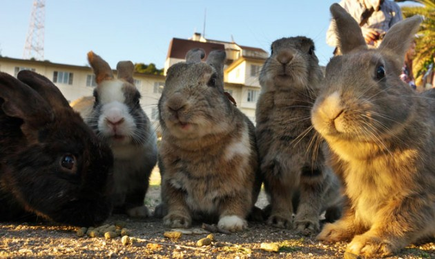 Rabbit_Island_in_Japan_1