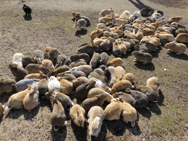 Rabbit_Island_in_Japan_3