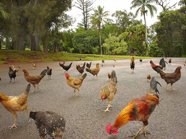 Roosters_in_Hawaii_3