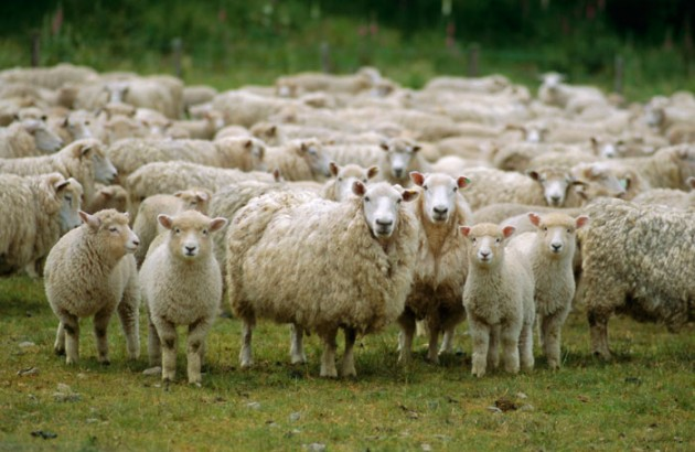 Sheep_in_New_Zealand_1