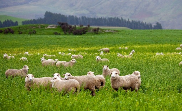 Sheep_in_New_Zealand_2