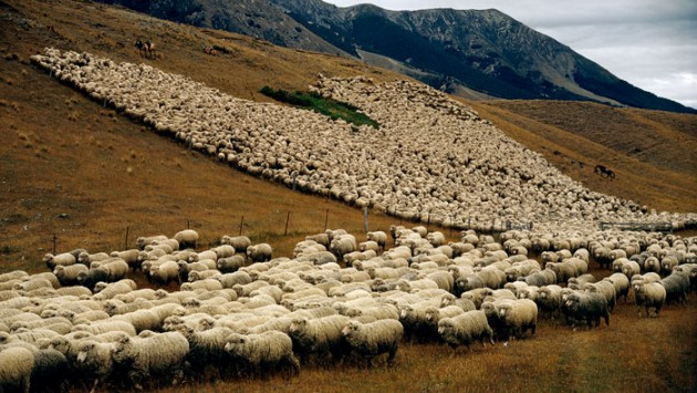 Sheep_in_New_Zealand_3
